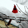 Took this photo of a male cardinal this winter. It took me awhile to get it, but he finally settled down and landed in the snow!<br /> <br /> Photographer's Name: Rita Drews<br /> Photographer's City and State: Anderson, Ind.