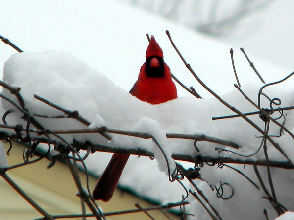 A male cardinal in the snow.<br /> <br /> Photographer's Name: Rita Drews<br /> Photographer's City and State: Anderson, Ind.