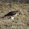 A red-tail hawk catches his next meal.<br /> <br /> Photographer's Name: James Campbell<br /> Photographer's City and State: Anderson, Ind.