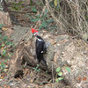 A pileated woodpecker, taken while visiting family in Inverness, Fla., recently. <br /> <br /> Photographer's Name: Ronnie Kelly<br /> Photographer's City and State: Alexandria, Ind.
