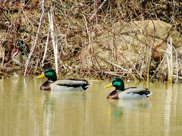 This is the CORRECT photo of the hiding Wood Duck . Can you spot him among his Mallard friends?<br /> <br /> Photographer's Name: Sharon Markle<br /> Photographer's City and State: Markleville, IN