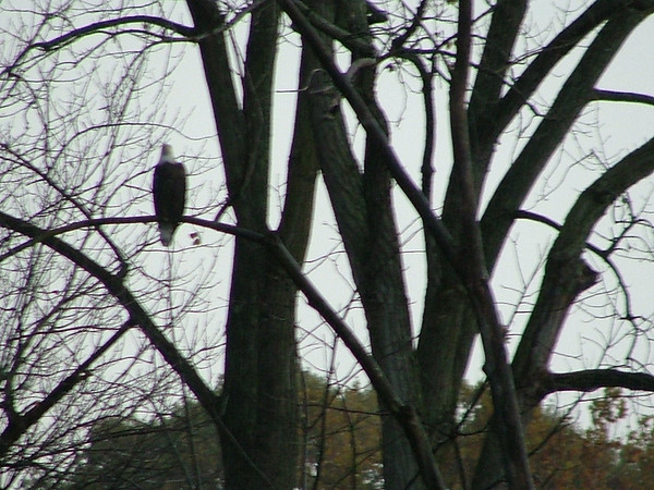 A bald eagle in our backyard!<br /> <br /> Photographer's Name: Jamie Goulding<br /> Photographer's City and State: Anderson, Ind.