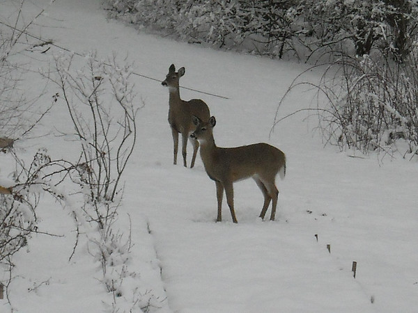 Deer in our backyard near the wetlands.<br /> <br /> Photographer's Name: Carol Miller<br /> Photographer's City and State: Anderson, Ind.