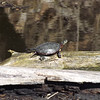 """Getting some rays,"" turtles out of the mud and into the warm sun. Taken at Shadyside Lake, March 8, 2013.<br /> <br /> Photographer's Name: J.R. Rosencrans<br /> Photographer's City and State: Alexandria, Ind."