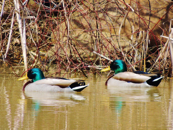 Where's Waldo? After downloading the Mallard photo, I noticed a surprise, camouflaged Wood Duck. Can you spot it?<br /> <br /> Photographer's Name: Sharon Markle<br /> Photographer's City and State: Markleville, IN