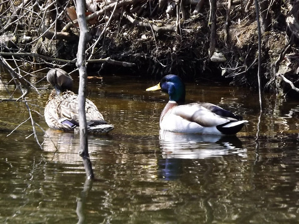 """""""Duck! Spring is coming"""",,, Little Killbuck Creek<br /> <br /> Photographer's Name: J.R. Rosencrans<br /> Photographer's City and State: Alexandria, IN"""
