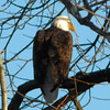 I took this picture of a bald eagle on the Wabash River near Peru, Indiana.<br /> <br /> Photographer's Name: Rita Drews<br /> Photographer's City and State: Anderson, Ind.