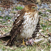 A hawk, taken behind Harter House on the river walk.<br /> <br /> Photographer's Name: Rita Drews<br /> Photographer's City and State: Anderson, Ind.