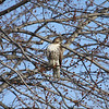 Red tail Hawk...Photo Taken in Madison County<br /> <br /> Photographer's Name: Jim Campbell<br /> Photographer's City and State: Anderson, IN