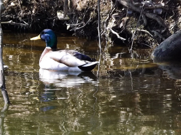 """Killbuck Duck"" taken at Little Killbuck Creek<br /> <br /> Photographer's Name: J.R. Rosencrans<br /> Photographer's City and State: Alexandria, IN"