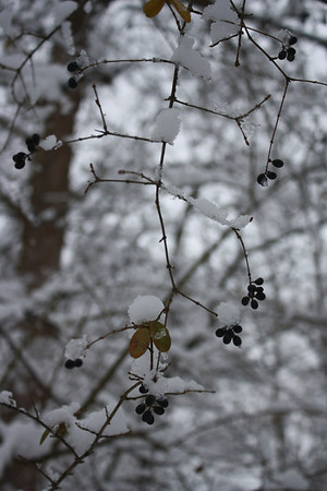 Winter Berry, Anderson, March 6, 2013<br /> <br /> Photographer's Name: Rachel Landers<br /> Photographer's City and State: Anderson, IN