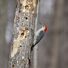 Red-bellie Woodpecker at Mounds State Park<br /> <br /> Photographer's Name: Jim  Campbell<br /> Photographer's City and State: Anderson, IN
