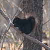 Rare Black Squirrel...Photo Taken at Mounds State Park<br /> <br /> Photographer's Name: Jim Campbell<br /> Photographer's City and State: Anderson, IN