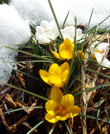 As the snow melted Friday, Art Tate's first crocus blossoms appeared.<br /> <br /> Photographer's Name: Art Tate<br /> Photographer's City and State: Anderson, Ind.