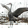 A sandhill crane doing his mating dance at Jasper-Pulaski State Fish and Wildlife area in northwest Indiana.<br /> <br /> Photographer's Name: Rita Drews<br /> Photographer's City and State: Anderson, Ind.