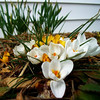 Friday's warm temperatures brought out more crocus blossoms, with daffodils waiting in the background.<br /> <br /> Photographer's Name: Art Tate<br /> Photographer's City and State: Anderson, Ind.