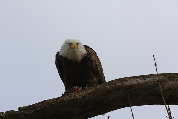 Bald Eagle eating fish on Wabash River 3-2-2013<br /> <br /> Photographer's Name: Ilene Hamilton<br /> Photographer's City and State: Anderson, IN