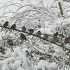 Sparrows on the bamboo after the recent snowfall.<br /> <br /> Photographer's Name: Carol Miller<br /> Photographer's City and State: Anderson, Ind.