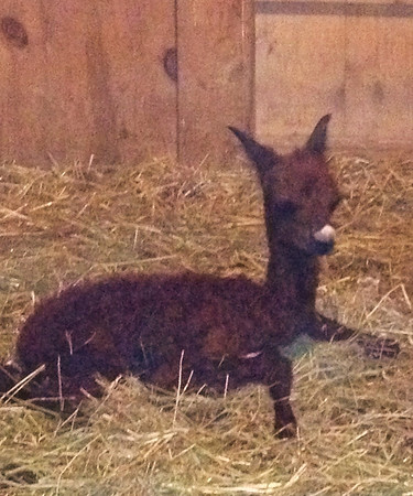 First baby alpaca (cria) of 2013 at Cardinal Ridge Alpacas, Pendleton, Ind.<br /> <br /> Photographer's Name: Christina McCaul<br /> Photographer's City and State: Pendleton, Ind.