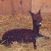 First baby alpaca (cria) of 2013 at Cardinal Ridge Alpacas, Pendleton, Ind.<br /> <br /> Photographer's Name: Christina McCaul<br /> Photographer's City and State: Pendleton, Ind.