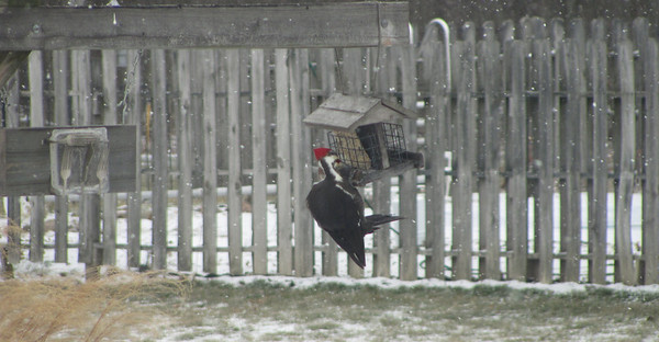 Pileated woodpecker at suet feeder<br /> <br /> Photographer's Name: Wanda Harrington<br /> Photographer's City and State: Anderson, IN