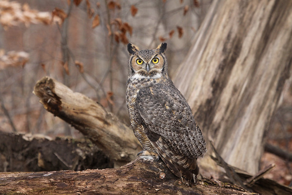 A great horned owl at Fort Harrison State Park.<br /> <br /> Photographer's Name: Jim  Campbell<br /> Photographer's City and State: Anderson, Ind.