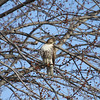 A red-tail hawk hunting along county road<br /> <br /> Photographer's Name: James Campbell<br /> Photographer's City and State: Anderson, Ind.