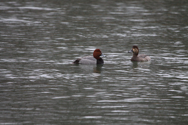 A pair of Red Head Ducks in a pond west of Anderson<br /> <br /> Photographer's Name: Jim  Campbell<br /> Photographer's City and State: Anderson, IN