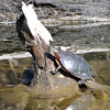 Turtles are always a better predictor of warmer weather than  Ground Hogs,,, Shady Side Lake 3-12-13<br /> <br /> Photographer's Name: J.R. Rosencrans<br /> Photographer's City and State: Alexandria, IN