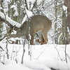 A deer at Mounds State Park on March 6, 2013.<br /> <br /> Photographer's Name: Matthew Johnson<br /> Photographer's City and State: Anderson, Ind.