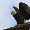 Bald Eagle landing with fish he just caught on Wabash River 3-2-2013<br /> <br /> Photographer's Name: Ilene Hamilton<br /> Photographer's City and State: Anderson, IN