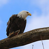 A bald eagle roosts on a branch near the Wabash River on March 2, 2013.<br /> <br /> Photographer's Name: Ilene Hamilton<br /> Photographer's City and State: Anderson, Ind.