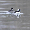 Bufflehead Bay Duck at Sumner Lake Anderson, Indiana<br /> <br /> Photographer's Name: Evelyn Bauer<br /> Photographer's City and State: Anderson, IN