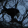 """This Bald Eagle was at Road 300 West/Orestes road and 1100 North/""""P"""" street. The picture was taken by my sister Rebekah and I, Emma Noble.<br /> <br /> Photographer's Name: Rebekah and Emma  Noble<br /> Photographer's City and State: Alexandria, Ind."""