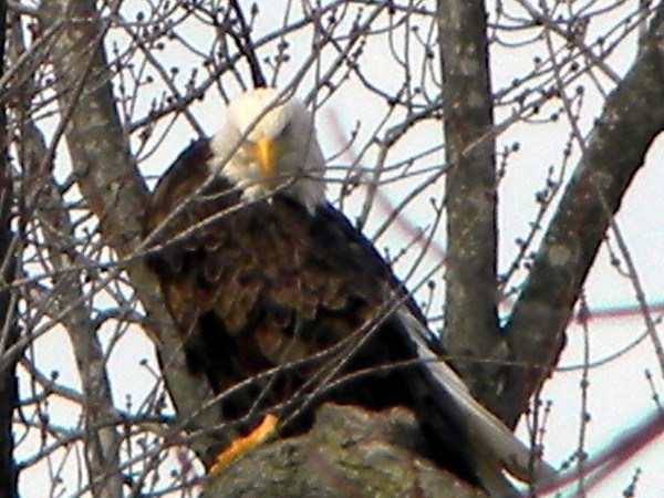 I took this photo of a bald eagle along the Wabash River near Peru, Indiana last month.<br /> <br /> Photographer's Name: Rita Drews<br /> Photographer's City and State: Anderson, Ind.