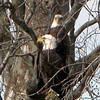 This pair of bald eagles were sitting along the Wabash River up by Peru, Ind.<br /> <br /> Photographer's Name: Rita Drews<br /> Photographer's City and State: Anderson, Ind.