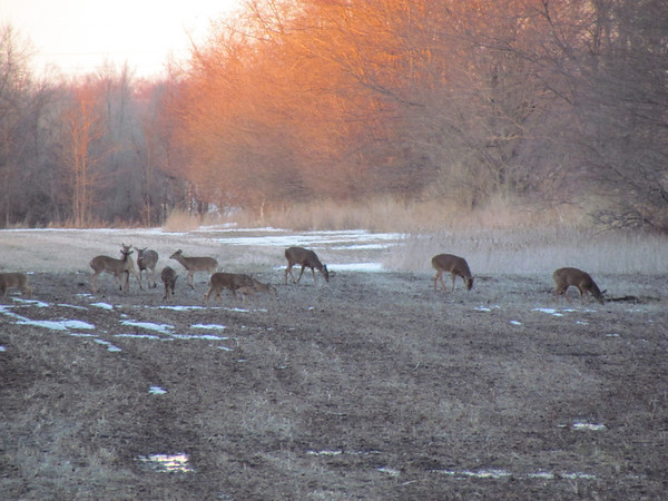 These deer were feeding after the recent thaw out on the south side of Anderson.<br /> <br /> Photographer's Name: Brian Fox<br /> Photographer's City and State: Anderson, Ind.