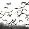 A recent trip to see the sandhill cranes in Northwest Indiana was very successful.<br /> <br /> Photographer's Name: Rita  Drews<br /> Photographer's City and State: Anderson, Ind.