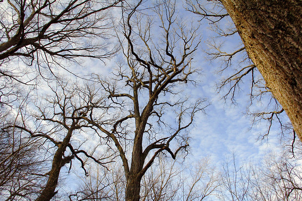 """Giant old growth trees at Mounds Park along White River awaiting warmer weather to start the """"leafing"""" process.<br /> <br /> Photographer's Name: Jerry Byard<br /> Photographer's City and State: Anderson, Ind."""