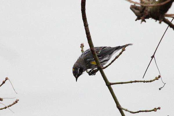 A male yellow rumped warbler is an early spring migrant currently coming into Shadyside Park.<br /> <br /> Photographer's Name: Jeff Bryant<br /> Photographer's City and State: Champaign, Ill.