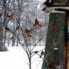 So many cardinals waiting for lunch. Should we tell the bishop?<br /> <br /> Photographer's Name: Carlos Seal<br /> Photographer's City and State: Anderson, Ind.