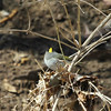 A Golden Crowned Kinglet is an early spring migrant currently coming into Shadyside Park.<br /> <br /> Photographer's Name: Jeff Bryant<br /> Photographer's City and State: Champaign, Ill.