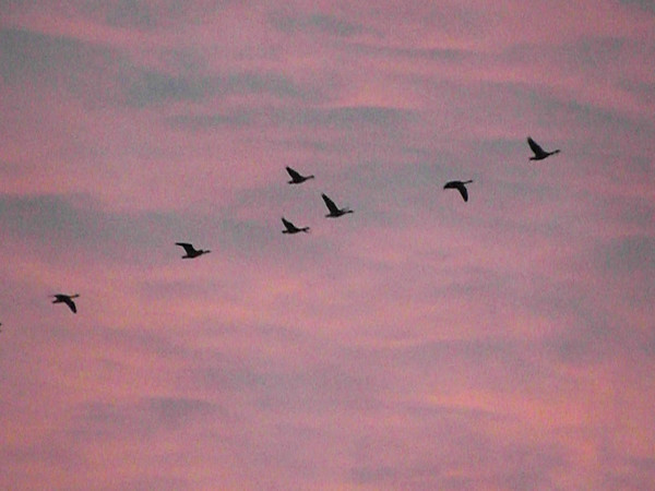 """""""Next stop: Manitoba:"""" Geese have been flying all day long over my farm in Richland Township.<br /> <br /> Photographer's Name: J.R. Rosencrans<br /> Photographer's City and State: Alexandria, Ind."""