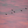 """Next stop: Manitoba:"" Geese have been flying all day long over my farm in Richland Township.<br /> <br /> Photographer's Name: J.R. Rosencrans<br /> Photographer's City and State: Alexandria, Ind."