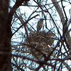 A blue heron standing in the nest along Killbuck Creek. The rookery has several nests<br /> <br /> Photographer's Name: Rita Drews<br /> Photographer's City and State: Anderson, Ind.