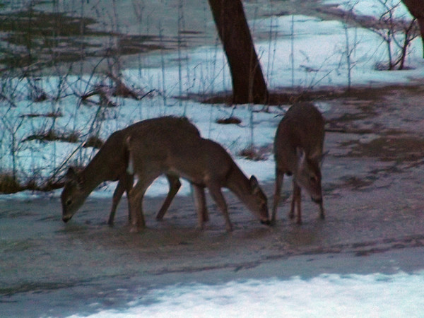 """Snow water deer,"" drinking at toast to spring in Richland Township.<br /> <br /> Photographer's Name: J.R. Rosencrans<br /> Photographer's City and State: Alexandria, Ind."