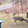 Our evening entertainment: a total of eight deer in our front yard.<br /> <br /> Photographer's Name: Charles Cunningham<br /> Photographer's City and State: Anderson, Ind.