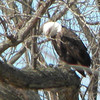 Taken up north along the Wabash River. Our granddaughter says this bald eagle is praying before he eats.<br /> <br /> Photographer's Name: Rita Drews<br /> Photographer's City and State: Anderson, Ind.