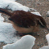 This Carolina Wren must have found some seed under the snow.<br /> <br /> Photographer's Name: Rita Drews<br /> Photographer's City and State: Anderson, Ind.