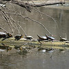 Turtles at Shadyside Park on Monday eagerly awaiting warmer weather.<br /> <br /> Photographer's Name: Jeff Bryant<br /> Photographer's City and State: Champaign, Ill.